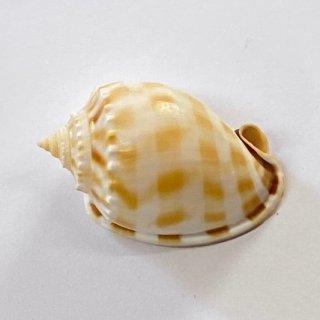 タマウラシマ貝