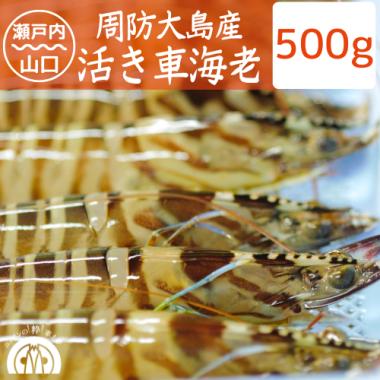 周防大島産 活き車海老 500g(13-17尾)