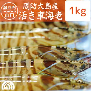 周防大島産 活き車海老 1kg(30-35尾)