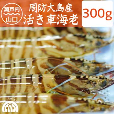 周防大島産 活き車海老 300g(9-12尾)