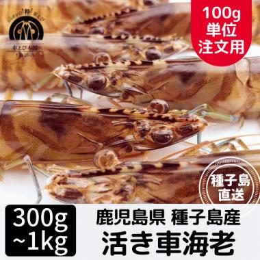 種子島産 活き車海老 300g〜1kg