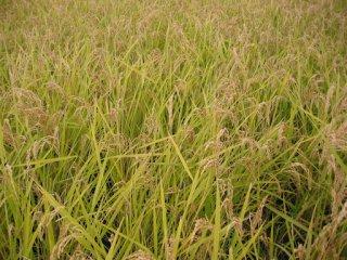 農薬不使用栽培 コシヒカリ
