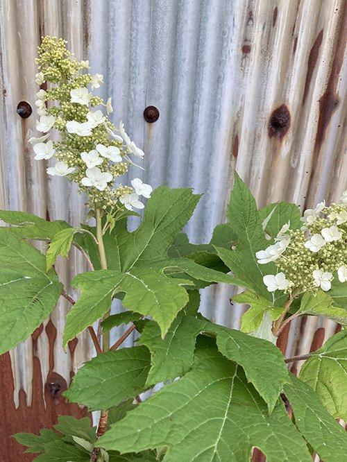 カシワバアジサイ アリス(一重咲き)
