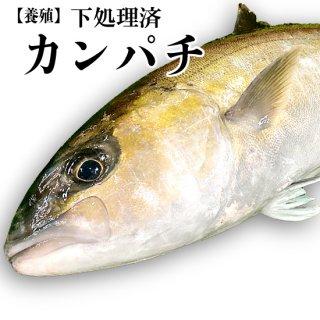 【冷蔵】カンパチ(養殖) 約3~3.5kg