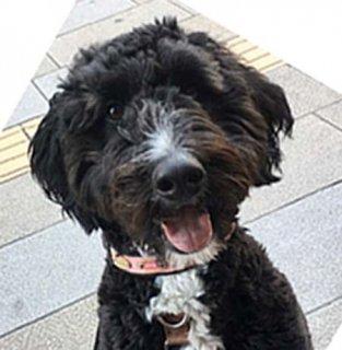 大型犬用ブラックデニム&ピンクレザーカラー
