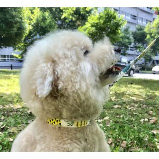 限定品:小型犬用 パイナップルリード&カラー