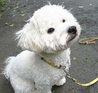 限定品:小型犬用 防水加工コットンリード&カラー