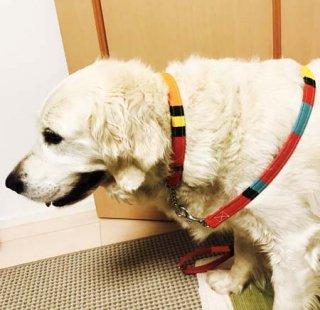 大型犬用レッド系マルチ