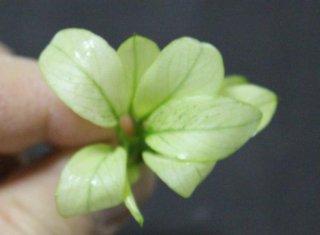 """アヌビアス ナナ """"ミルキー""""(1株) ◆小さくて白く 可愛らしい。丈夫◆"""