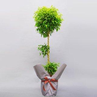 観葉植物 ベンジャミン 10号 バスケット付 送料込 No:150
