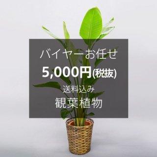 バイヤーお任せ 観葉植物 ※送料込 No:50