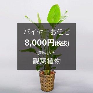 バイヤーお任せ 観葉植物 ※送料込 No:80