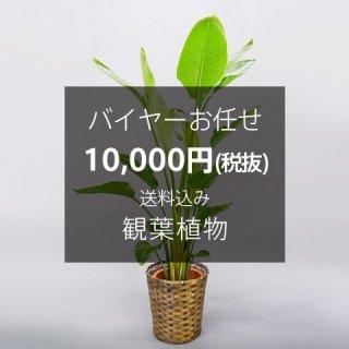 バイヤーお任せ 観葉植物 ※送料込 No:100