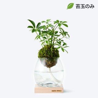 トーチM(シェフレラ類) /苔玉のみ