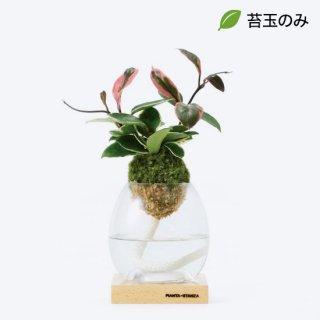 トーチM(ホヤ・カルノーサ リップカラー)/苔玉のみ