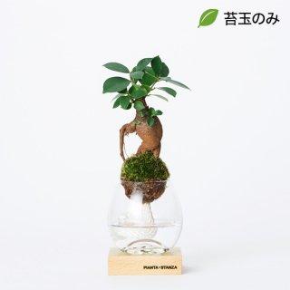 トーチS(ガジュマル)/苔玉のみ