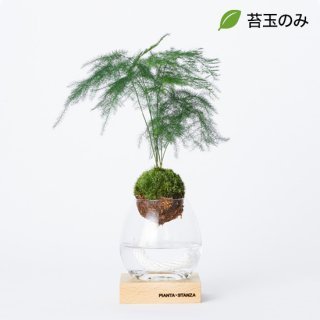 トーチS(アスパラ)/苔玉のみ