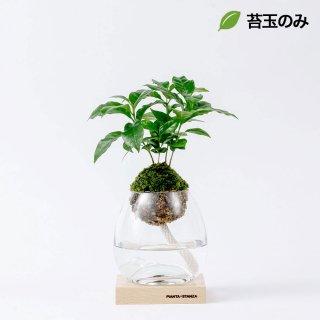 トーチM(コーヒーの木)/苔玉のみ