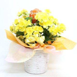 リーガベゴニア 花鉢