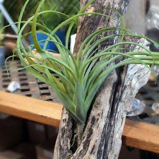 エアープランツ LL (観葉植物)フェイクグリーン