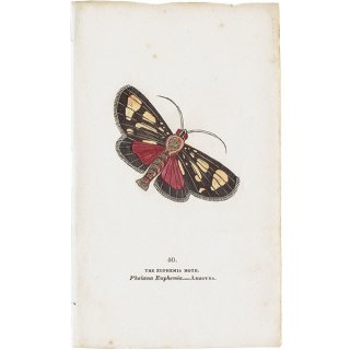 蝶々(蛾)・モスプリントNo.40(Amboyna)