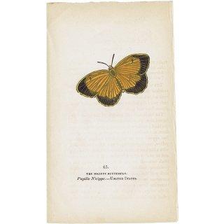 蝶々・バタフライプリントNo.45(United States)