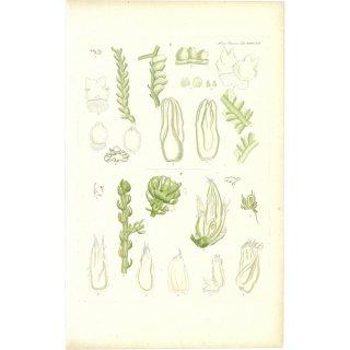 スウェーデン アンティークボタニカルプリント 植物画0060