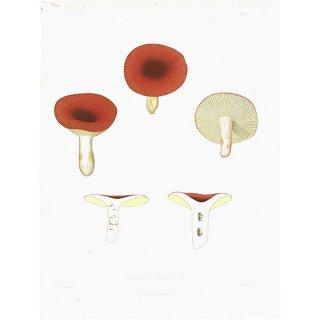 スウェーデン アンティークボタニカル キノコプリント 植物画0093
