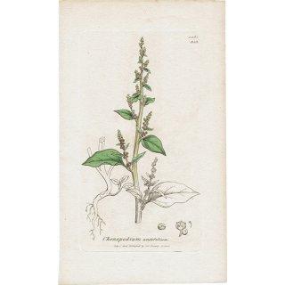 イギリス アンティークボタニカルプリント(ジェームズ・サワビー J.Sowerby) 植物画0107