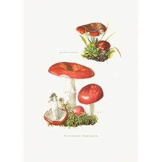 フランス ヴィンテージキノコプリント(ドクベニタケ|Russula emetica) 植物画0109