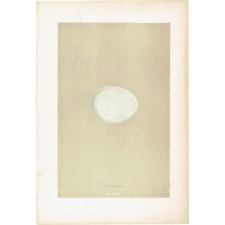 バードエッグ アンティークプリント オオタカ(GOSHAWK)の卵 0012