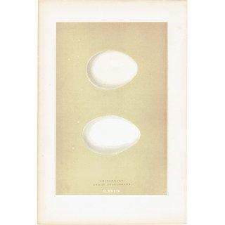 バードエッグ アンティークプリント アカツクシガモ(SHIELDRAKE)の卵 0013