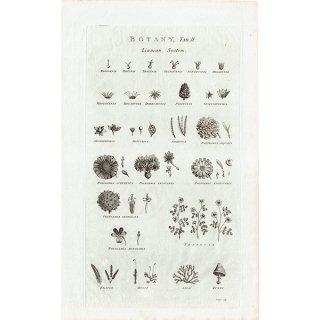 イギリス ボタニカルプリント/植物画BOTANY(1786) 0125