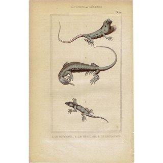 フランスアンティークプリント トカゲ 爬虫類 博物画|0065