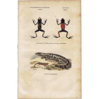 アンティークプリント トカゲ・カエル 爬虫類 博物画|0064