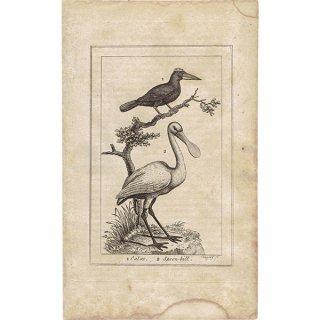 イギリスアンティークプリント 鳥(calao&Spoon Billed)博物画|0063