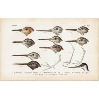 イギリスアンティークプリント 鳥 くちばし 博物画|0067