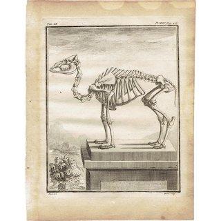 スケルトン ラクダ 骨格 フランスの博物学者Buffon アンティークプリント  0061