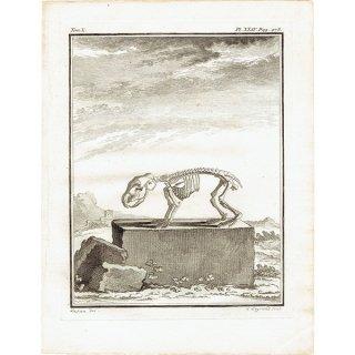 スケルトン 動物の骨格 フランスの博物学者Buffon アンティークプリント  0070