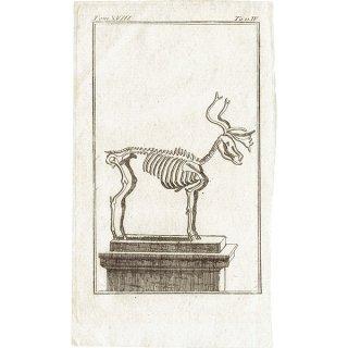スケルトン Deer(鹿)の骨格 フランスの博物学者Buffon アンティークプリント  0074