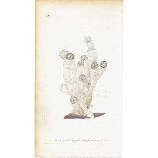 イギリスアンティークプリント サンゴ(珊瑚・コーラル) 海洋生物 博物画|0009