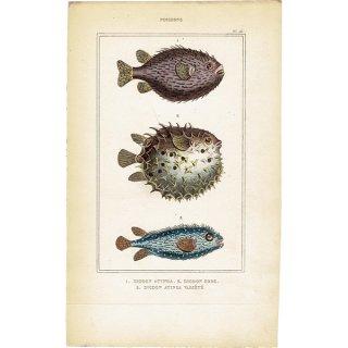 フランスアンティークプリント (POISSONS/DIODON/フグ) 海洋生物 博物画|0010
