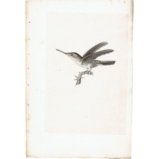 ハチドリ(ハミングバード)アンティークプリント 1835年 0081