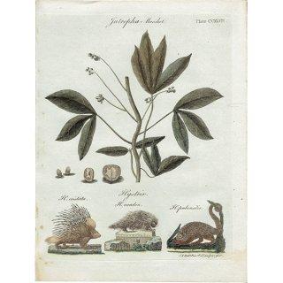 イギリス ボタニカルプリント/植物画 Jatropha manihot(キャッサバ) ,1797 Andrew Bell (1726-1809) 0135