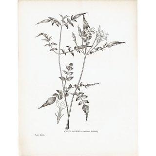 イギリス ボタニカルプリント/ジャスミン/WHITE JASMIN 0143