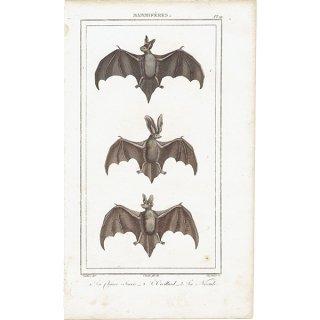 コウモリ(蝙蝠)アンティークプリント 1827年 0086