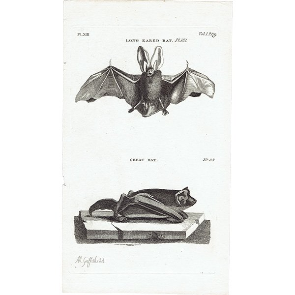 コウモリ(LONG EARED BAT / GREAT BAT)アンティークプリント 1780年代 0087