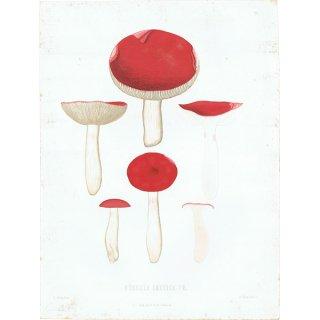 スウェーデン アンティークボタニカル キノコプリント 植物画0144
