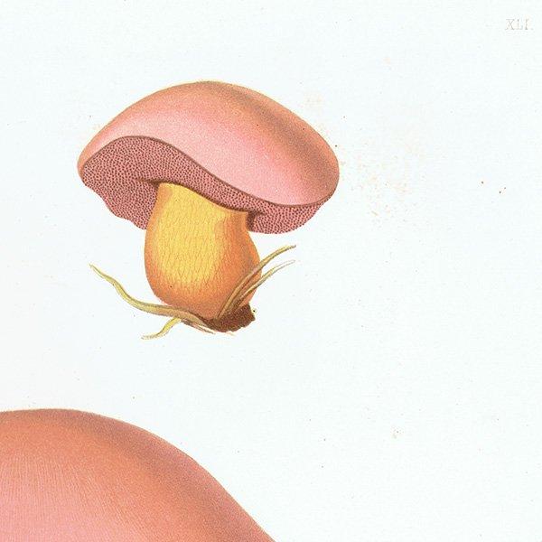 スウェーデン アンティークボタニカル キノコプリント 植物画0145