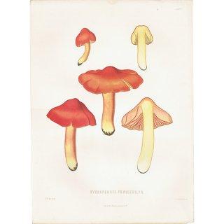 スウェーデン アンティークボタニカル キノコプリント 植物画0146